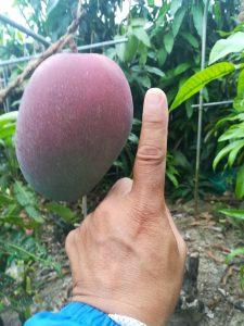 かなり大きなアップルマンゴー!